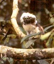 Cottontop tamarin in the wild, 300mm lens
